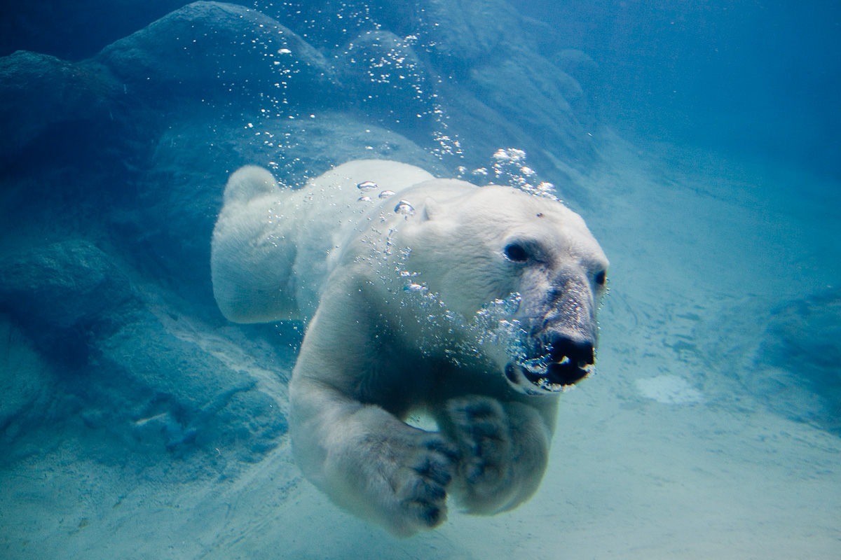 Polar_bear_swimming