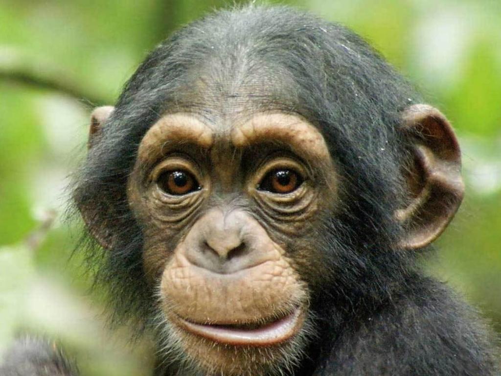 chimpanzee-003_196080-1024x768