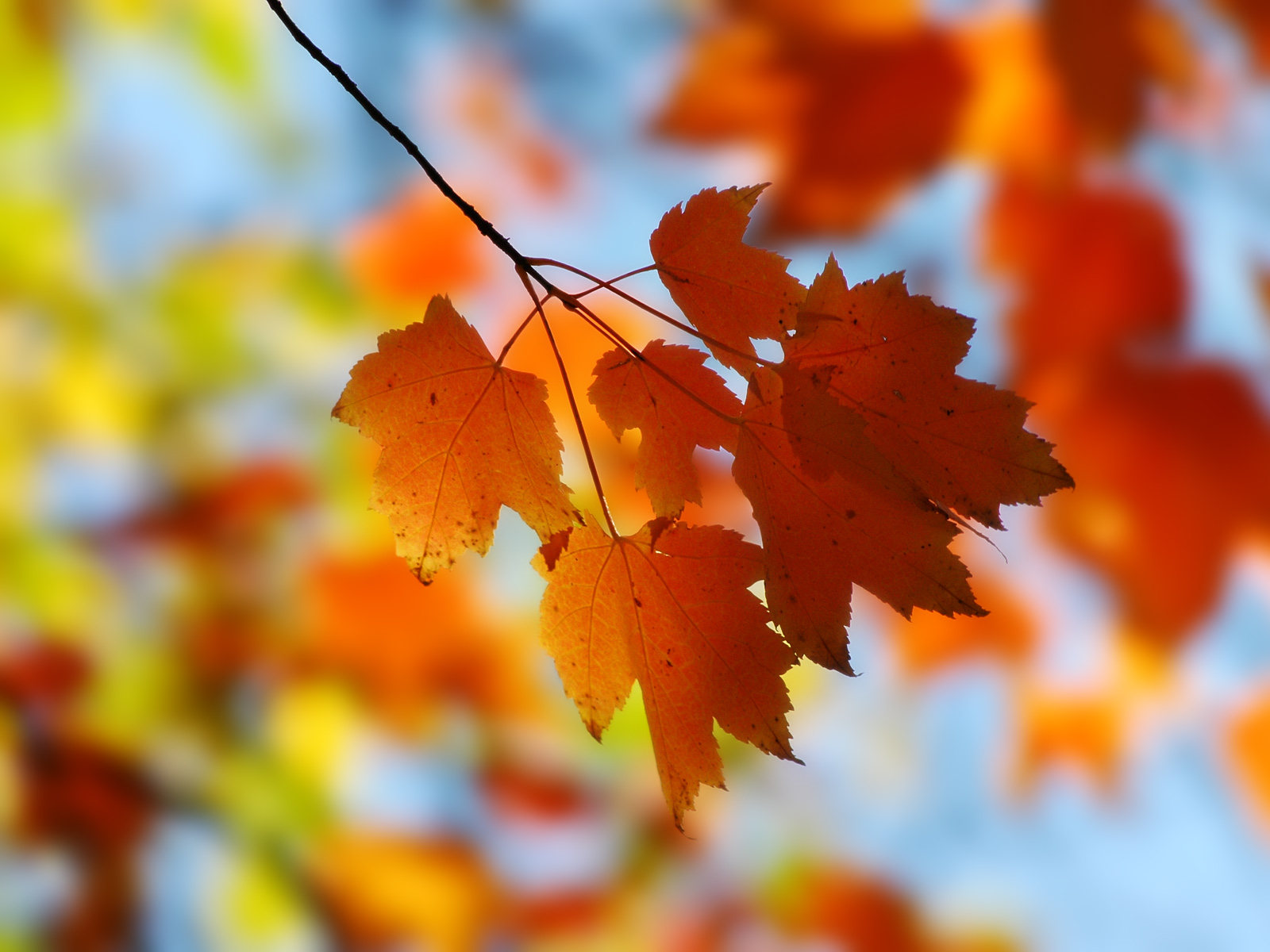 miscellaneous-fall-maple-backgrounds-wallpapers