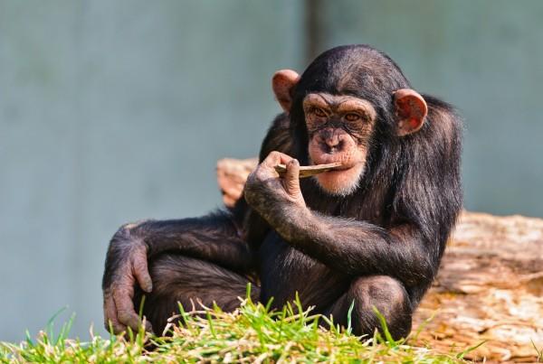 thinking_chimp-wallpaper-1680x1260